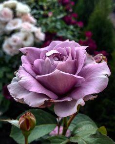 """Rose ' Novalis ' in my garden #rosesinmygarden #rose #roses #color #colors #lavender #lavenderflower #lavenderflowers #flowersinmygarden #flowers #flower…"""