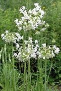 Native American tribes (especially the Cherokee) used the bulbs of Nodding Onion as a treatment for croup, colic, colds and fevers. Following a dose of Horsemint tea, the juice of Nodding Onion was taken for kidney stones and dropsy. Poultices of this species often applied as a treatment for respiratory disorders by early settlers. Most of the medicinal effects of Nodding Onion are similar to, but not as strong as its cousin, Wild Garlic.