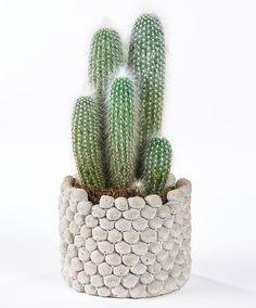 Grijsaard | Planten | Bakker Hillegom