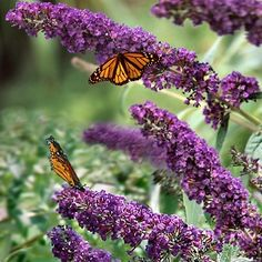 Butterfly Bush. How to plant & care for it.