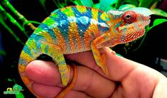 Buy panther chameleon for sale online. Panther chameleon breeders buy baby panther chameleons for sale near me. Best place to buy baby panther chameleons. Baby Chameleon For Sale, Chameleon Pet, Veiled Chameleon, Karma Chameleon, Chameleons For Sale, Types Of Chameleons, Baby Panther, Geckos, Madagascar