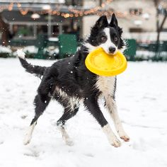 """Gansevoort, Border Collie (4 y/o), Madison Square Park, New York, NY • """"He does frisbee for an hour or two twice a day. It truly gives him life. He loves this shit."""""""