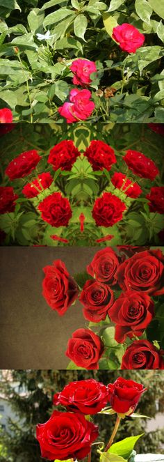 Red Roses(Three sisters)