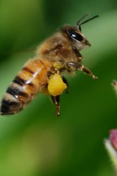 I love bees. They are the reason we and other animals have fruits, veggies, and grains. Do research and be smart! Help our bees