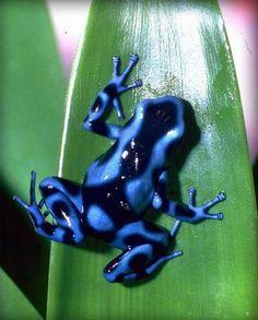 """Résultat de recherche d'images pour """"grenouille bleue"""""""