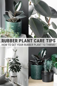Jade Plants, Bamboo Plants, Indoor Plants, Bamboo Plant Care, Jade Plant Care, Ficus Elastica, Rubber Plant Care, Peperomia Plant, Gardens