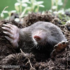 <p>Either live trap or use a spring trap to keep moles from ruining your yard. Both methods are effective and easy.</p> <p>Photo courtesy of Fotosearch.</p>