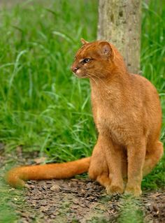 The jaguarundi is small cat that is a little bit larger than a house cat. is native to Central America and the northern and central countries of South America down to Argentina. It can be found, on rare occasions, in extreme southeast Arizona and Texas. The jaguarundi is a federal endangered species in the United States