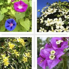 good climbing plants for a trellis