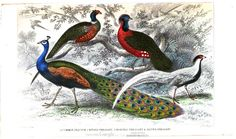 Common peacock, ringed pheasant, horned pheasant, and silver pheasant. A History of the Earth and Animated Nature,  Vol 2, by Oliver Goldsmith