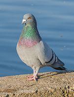 Păsările României - Wikipedia Birds, Animals, Animales, Animaux, Bird, Animal, Animais