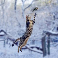Bengal Cats Snow Bengal cat making a grasping leap at a Robin. Crazy Cat Lady, Crazy Cats, Neko, Animals And Pets, Cute Animals, Foto One, Cat Anatomy, Cat Reference, Types Of Cats