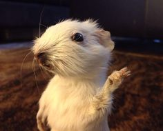 Taxidermy Guinea Pig on Etsy, $35.00