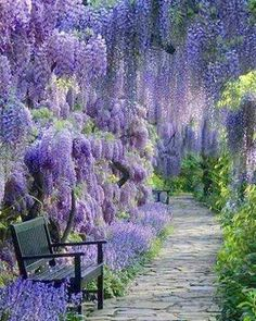 Wisteria lined avenue. Note: Not willows.