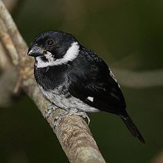 Variable Seedeater , Costa Rica