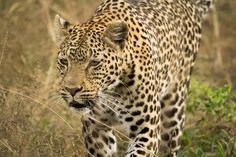 'Leopard on the hunt.' by Timbo Cats 101, Nature, Check, Animals, Naturaleza, Animales, Animaux, Animal, Animais