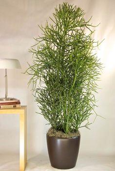 Pencil Cactus - Houston Interior Plants