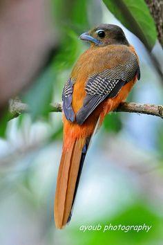 Scarlet-rumped Trogon, Harpactes duvaucelii: Brunei/ Indonesia/ Malaysia/ Myanmar/ Thailand