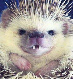 ドラキュラのような牙を持つハリネズミが可愛い! : 【2ch】コピペ情報局