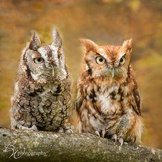 Eastern Screech Owls (Betty Wiley via flickr). #BirdsofPrey #BirdofPrey #Bird of Prey