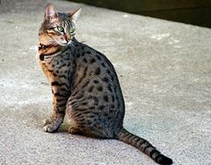 3 Ancient Cat Breeds with a Story - Egyptian Mau