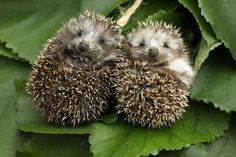 A hedgehog conservation zone is to be set up in a Solihull park - aimed at giving the threatened animals a chance to forage and meet mates. Woodland Creatures, Cute Creatures, Hamsters, Baby Animals, Cute Animals, Cute Hedgehog, Exotic Pets, Animal Kingdom, Mammals
