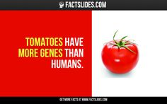 90 Facts about Science ←FACTSlides→ Tomatoes have more genes than humans.