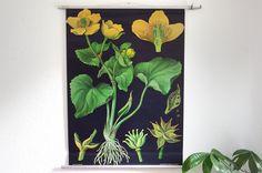 Botanische Schulkarte, Caltha palustris, Sumpfdotterblume, Wandkarte, Rollkarte, alte Schulkarte von wildundfein auf Etsy