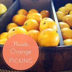 Authentic Florida - U-pick Florida Orange Groves