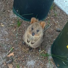 Day 251 of your daily dose of cute: quokka - FunSubstance Happy Animals, Animals And Pets, Funny Animals, Quokka, Australian Animals, Little Critter, Mundo Animal, Cute Little Animals, Cute Animal Pictures