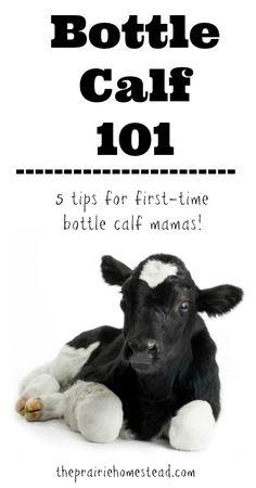 Bottle Calf 101-- 5 tips for first-time bottle calf mamas