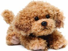 A Maltipoo is a gorgeous dog for anyone who wants a dog pet that is friendly, cute and fun. It is quite a curious that most owners of a Maltipoo know little or nothing about the dog. There is a lot of trivia or facts about the dog.