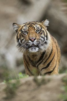 Each tiger has its very own stripe pattern. Researchers who observe tigers can identify individuals by their unique stripes.
