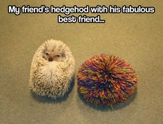 Hedgehog's best friend @Jessica Vazpickle I'm just gonna tag you in every hedgehog pic I find lol