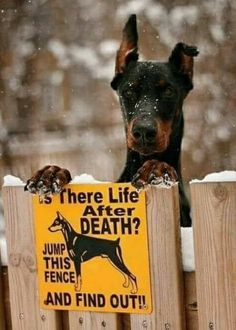 20 Reasons To Never Adopt A Doberman Pinscher Funny Shit, Funny Cats, Funny Animals, Funny Memes, Dog Signs, Funny Signs, Funny Animal Pictures, Best Funny Pictures, Fail Pictures