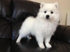 JAPANESE SPITZ PUPPIES AVAILABLE Image eClassifieds4u