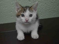 SPACEY - A1049043 - - Brooklyn  ***TO BE DESTROYED 08/29/15***Sweet tiny SPACEY is all fluffy and baby kitten cuteness. She was brought into the shelter as a stray without her litter mates or mom cat. This adorable 8 week old white and gray girl with the little pink nose is open to affection and will be soon ready to go to a beginner forever home and be a loyal companion. The problem is this adorable baby kitten will be put to death today if she's not fostered. Because sh