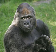 This lowland gorilla is the most handsome one I have ever seen.