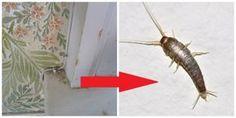 Pavúky a všetku háveď to vyženie z vášho domu: Najlepšia rada, ako udržať byt bez hmyzu na celé mesiace! Pest Control, Insects, Household, Cleaning, Wood, Animals, Bugs, Remedies, Hacks