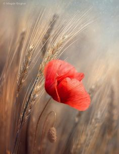 Lone poppy in a barley field. I love poppies. Love the bright red against the neutral background. Wild Flowers, Beautiful Flowers, Jolie Photo, Flower Wallpaper, Red Poppies, Flower Art, Flower Power, Nature Photography, Bloom