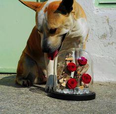 💎Every Woman Needs Her Forever Rose💎 #foreverroses #roseslover #roses #loveroses #preservedroses #lastsforever #roseamor #nofilters #dog #lovemydog #pitbull #loveandsun #love #sun #flowerinbox #flowershots #flowerlovers #flowers #redroses #redcolor #red #women #decoflowers #handmade #madewithlove #thessaloniki #greece #anthos_theartofflowers Forever Rose, Preserved Roses, Thessaloniki, Pitbull, I Love Dogs, Red Color, Red Roses, Greece, Sun