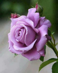 Beautiful Lavender Rose