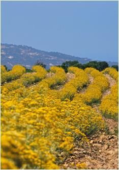 Immortelle as far as the eye can see: an undying landscape!