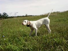 My brothers English Pointer.