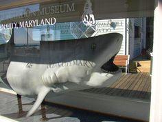 Tiger shark at Lifesaving Station Museum, Ocean City Maryland boardwalk - October 2011