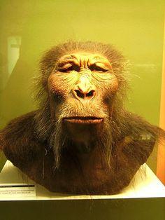 Paranthropus boisei. Photo from wikipedia.