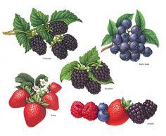 Douglas Schneider (©2014 artmajeur.com/douglasschneider) Four berry illustrations used for packaging.