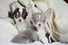 Pretty Chihuahuas! Que bonitas!!