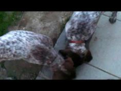 Cuccioli di bracco - http://www.baubaunews.com/bau-blog/cuccioli-di-bracco/ http://img.youtube.com/vi/Ms62Iz2OMiM/0.jpg