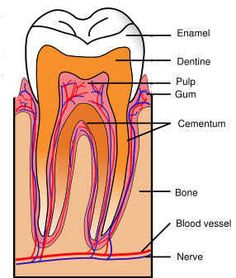 Super article on Dental Health and diet and supplements to keep teeth strong. - Oral Health Care For Good Teeth - Dental Teeth Health, Healthy Teeth, Oral Health, Dental Health, Gum Health, Stay Healthy, Health Care, Dental Assistant, Dental Hygiene